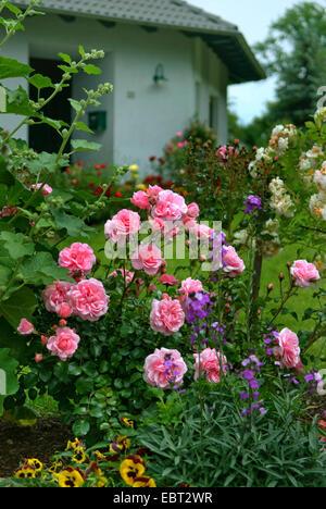 rosa bonica pink ground cover modern shrub rose stock. Black Bedroom Furniture Sets. Home Design Ideas