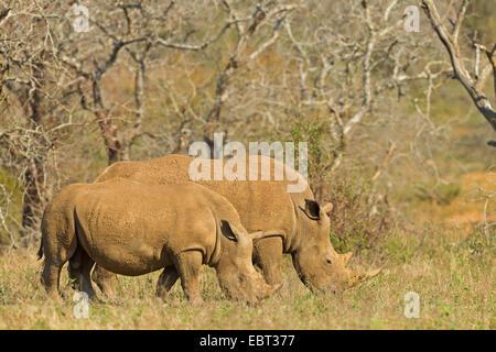 white rhinoceros, square-lipped rhinoceros, grass rhinoceros (Ceratotherium simum), grazing, South Africa, Hluhluwe-Umfolozi National Park