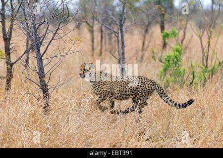 cheetah (Acinonyx jubatus), running through the high dry grass of the savannah looking for prey, South Africa, Krueger - Stock Photo