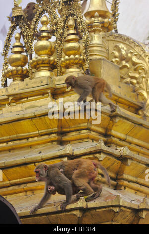 rhesus monkey, rhesus macacque (Macaca mulatta), apes in the Swayambhunath, Monkey Temple, stupa, Nepal, Kathmandu - Stock Photo