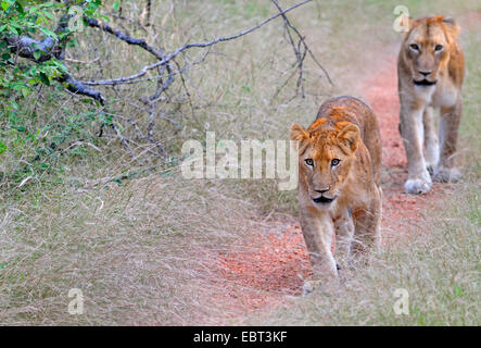 lion (Panthera leo), lioness and young lion hunting, South Africa, Krueger National Park - Stock Photo