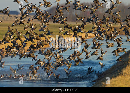 European wigeon (Anas penelope, Mareca penelope), heaps of wigeons at the resting place, Netherlands, Texel - Stock Photo