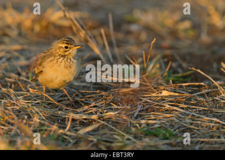 Aprican Pipit (Anthus cinnamomeus), sitting on the ground, South Africa, Krueger National Park, Letaba Camp - Stock Photo