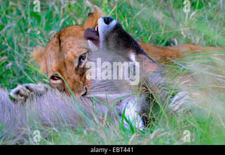 lion (Panthera leo), lioness destroying a waterbuck with a throat bite  , South Africa, Krueger National Park - Stock Photo
