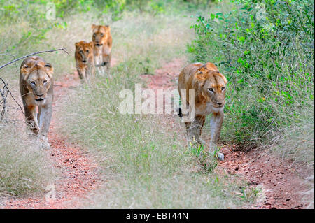 lion (Panthera leo), lioness group with young lion searching food, South Africa, Krueger National Park - Stock Photo
