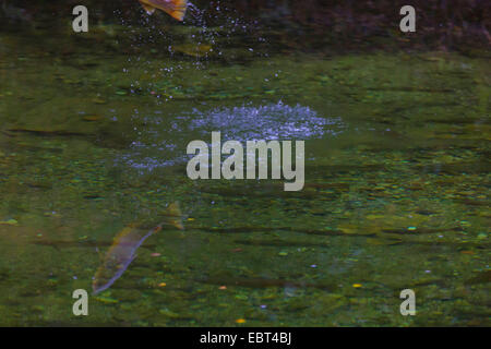 Brown trout, Sea trout, Atlantic trout (Salmo trutta trutta), jumping out of the water, refection, Norway, Namsos - Stock Photo