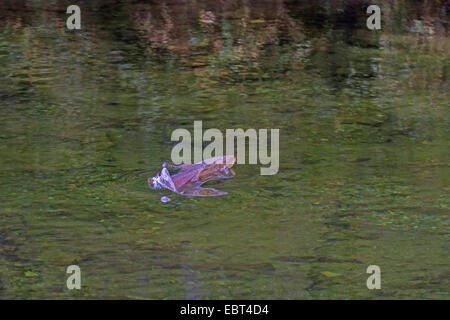 Brown trout, Sea trout, Atlantic trout (Salmo trutta trutta), jumping out of the water, Norway, Namsos - Stock Photo
