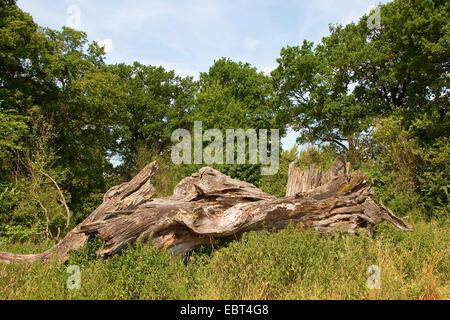 common oak, pedunculate oak, English oak (Quercus robur), dead tree as biotope fot animals, Germany - Stock Photo