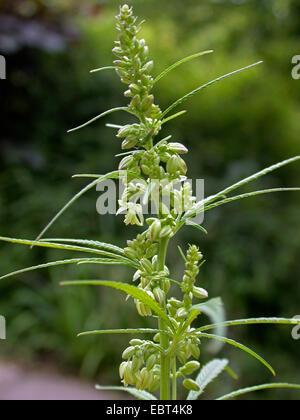 Indian hemp, marijuana, mary jane (Cannabis sativa), inflorescence of a male plant - Stock Photo