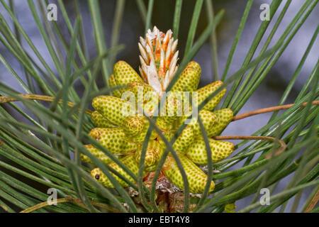 European black pine, Austrian pine, Black Pine, Corsican Pine (Pinus nigra), male inflorescence - Stock Photo