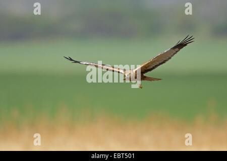 Western Marsh Harrier (Circus aeruginosus), flying over reed, Germany, Rhineland-Palatinate - Stock Photo