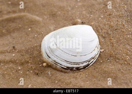 Peppery furrow clam, Peppery furrow shell (Scrobicularia plana), shells on the beach, Germany - Stock Photo