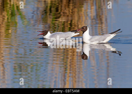 black-headed gull (Larus ridibundus, Chroicocephalus ridibundus), two black-headed gulls swimming together on the - Stock Photo