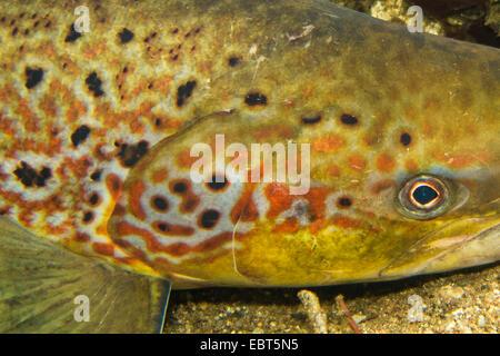 Atlantic salmon, ouananiche, lake Atlantic salmon, landlocked salmon, Sebago salmon (Salmo salar), in mating coloration, - Stock Photo