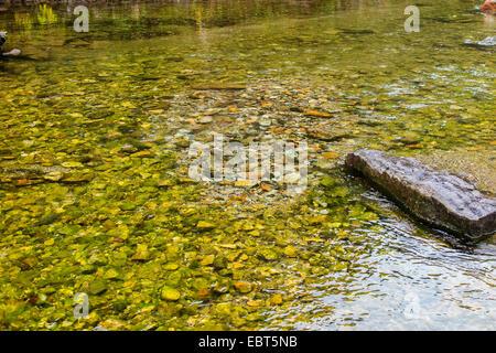 Atlantic salmon, ouananiche, lake Atlantic salmon, landlocked salmon, Sebago salmon (Salmo salar), spawning pit - Stock Photo