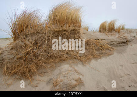 beach grass, European beachgrass, marram grass, psamma, sea sand-reed (Ammophila arenaria), on a dune with roots, - Stock Photo