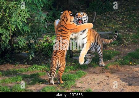 Siberian tiger, Amurian tiger (Panthera tigris altaica), two tussling tigers - Stock Photo