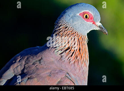 speckled pigeon (Columba guinea), portrait, South Africa, Tafelberg - Stock Photo