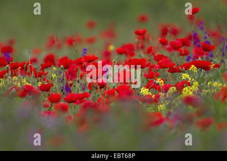 Common poppy, Corn poppy, Red poppy (Papaver rhoeas), poppy field, Bulgaria, Muselijewo - Stock Photo