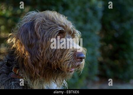 French wire-haired Korthals Pointing Griffon (Canis lupus f. familiaris), portrait - Stock Photo
