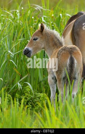 Exmoor pony (Equus przewalskii f. caballus), foal with mare in reed, Netherlands, Texel - Stock Photo