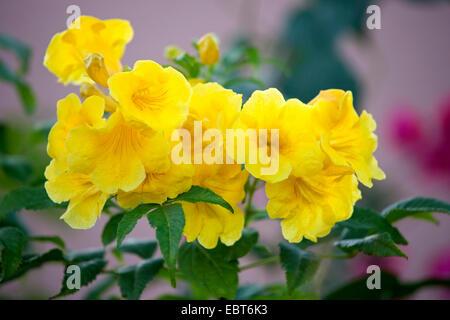 yellow trumpetbush, yellow bells,  yellow elder (Tecoma stans), blooming, Morocco