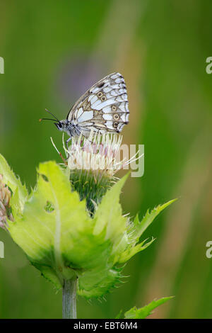 marbled white (Melanargia galathea), butterfly on a cabbage thistle,Cirsium oleraceum, Germany - Stock Photo