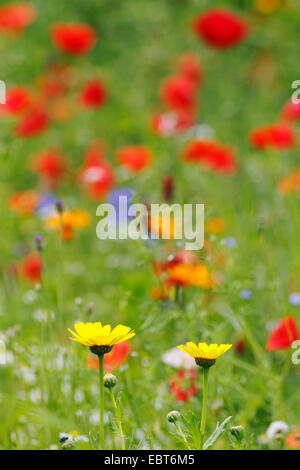 yellow chamomile, dyer's chamomile (Anthemis tinctoria), colourful field of flowers with poppy and yellow chamomile, - Stock Photo