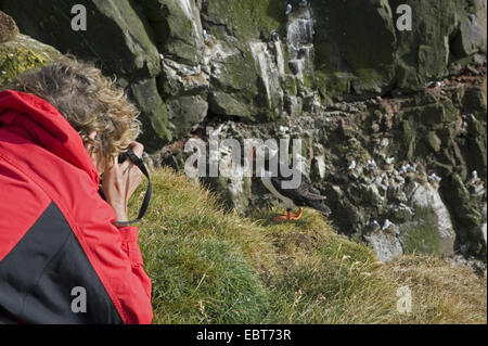 Atlantic puffin, Common puffin (Fratercula arctica), woman taking photos of a Common puffin, Iceland, Westfjorde, - Stock Photo