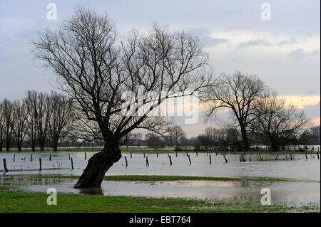 White willow (Salix alba), pollarded willows in the marsh meadows of the Lippe flood plain at high water in , Germany, - Stock Photo