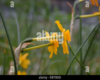 jonquil (Narcissus jonquilla), flowers of wild form - Stock Photo