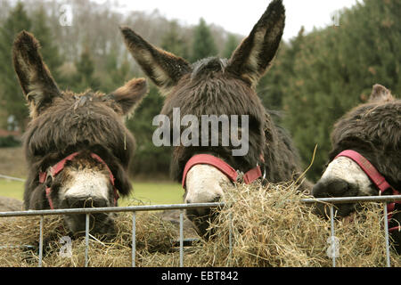domestic donkey (Equus asinus f. asinus), three donkey feeding from a hay rack, Germany - Stock Photo