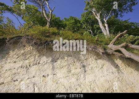 chalk cliff, dead wood and beech forest, Germany, Jasmund Nationalpark, Ruegen - Stock Photo