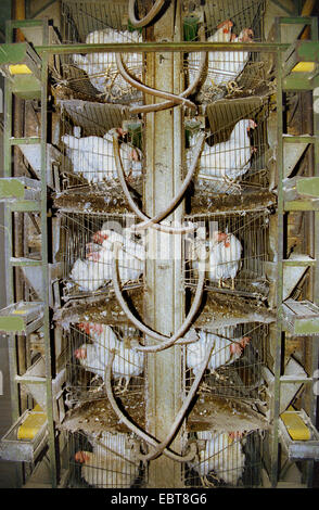, laying hens in laying battery, Germany, - Stock Photo