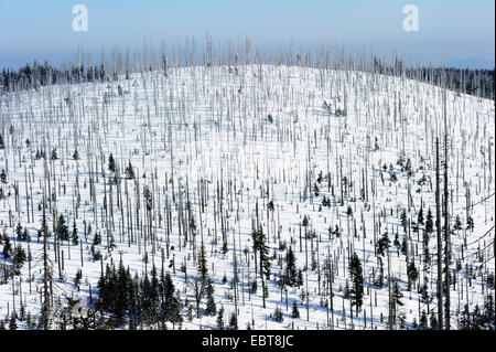 Norway spruce (Picea abies), dead sprucen on Lusen mountain, Germany, Bavaria, Bayerischer Wald - Stock Photo