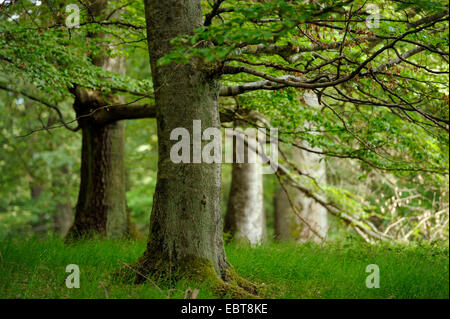 common beech (Fagus sylvatica), beech forest in the Kellerwald-Edersee National Park, Germany, Hesse, Nationalpark - Stock Photo
