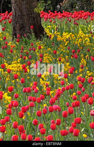 common garden tulip (Tulipa gesneriana), great number of red tulips and yellow pansies in a flower bed around a - Stock Photo