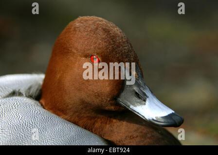 common pochard (Aythya ferina, Anas ferina), portrait of a male, Germany - Stock Photo