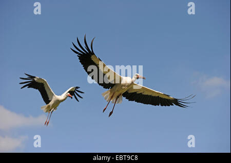 white stork (Ciconia ciconia), couple flying, Germany - Stock Photo