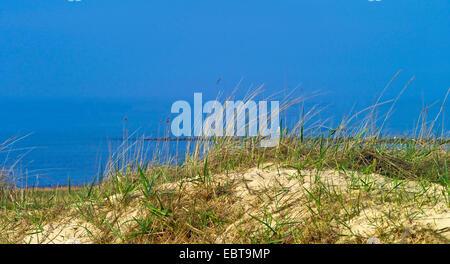beach grass, European beachgrass, marram grass, psamma, sea sand-reed (Ammophila arenaria), on dune, Germany, Lower - Stock Photo