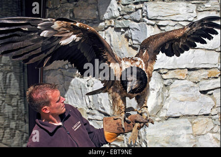 Lammergeier; Lammergeyer; Bearded Vulture (Gypaetus barbatus), falconer with a one year old bird on the arm, France - Stock Photo