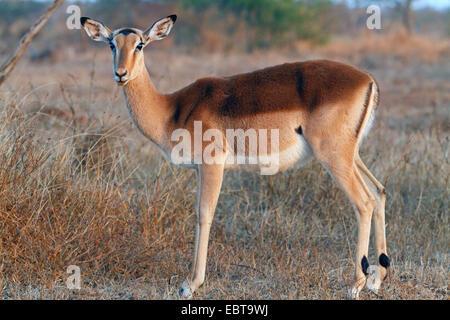 impala (Aepyceros melampus), female standing in savannah, South Africa, Krueger National Park - Stock Photo