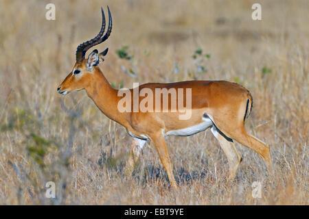 impala (Aepyceros melampus), in savannah, South Africa, Krueger National Park - Stock Photo