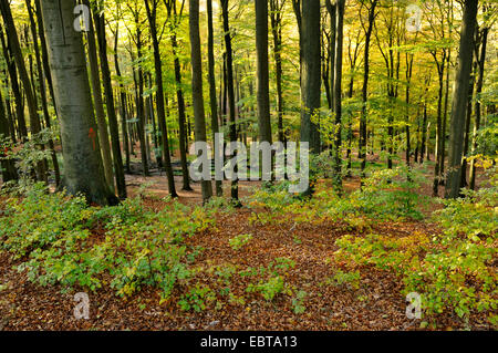 beech forest in autumn, Germany, North Rhine-Westphalia, Sauerland - Stock Photo