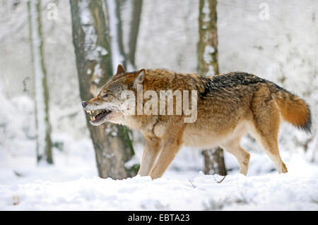 European gray wolf (Canis lupus lupus), displaying teeth, Germany - Stock Photo