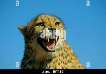 cheetah (Acinonyx jubatus), snarling - Stock Photo