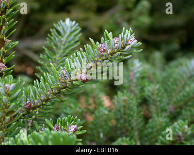 korean fir abies koreana conifer branches with cones. Black Bedroom Furniture Sets. Home Design Ideas