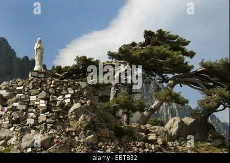 European black pine, Austrian pine, Black Pine, Corsican Pine (Pinus nigra), statue of the Virgin Mary at Col de - Stock Photo