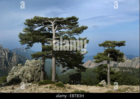 European black pine, Austrian pine, Black Pine, Corsican Pine (Pinus nigra), at Col de Bavella, France, Corsica, - Stock Photo