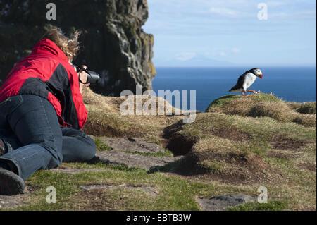 Atlantic puffin, Common puffin (Fratercula arctica), woman taking photos of an Atlantic puffin, Iceland, Latrabjarg, - Stock Photo